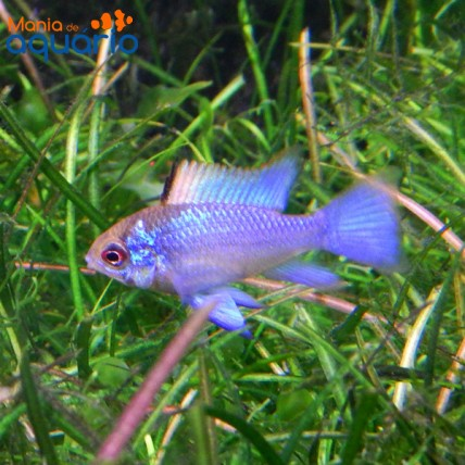 Ramirezi Eletric Blue 3-4...