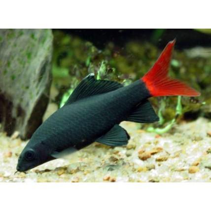 Labeo Bicolor 3-4 cm...
