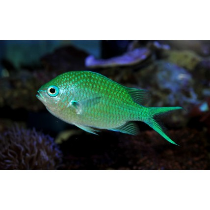 Donzela Green Chromis...