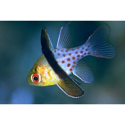 Pajama Cardinalfish
