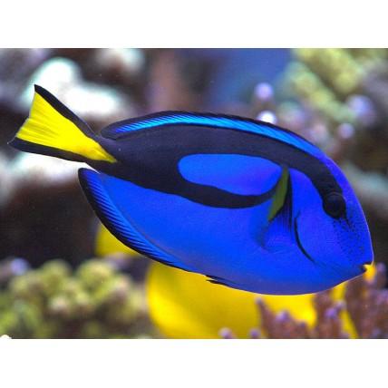 Dori Blue Tang 4cm...