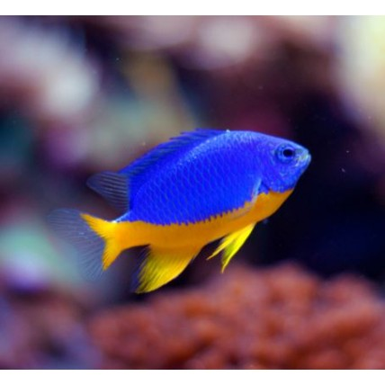 Half-blue Damselfish