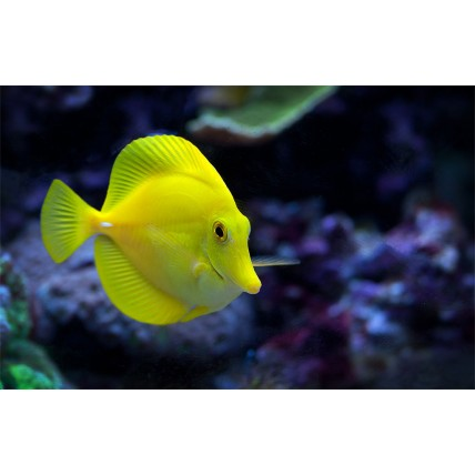 Yellow Tang 5-8cm...