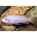 LABEOTROPHEUS TREWAVASAE RED TOP ALBINO (2-4 cm)