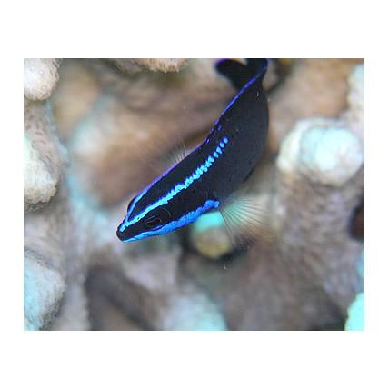 Pseudochromis Springeri 3-4...
