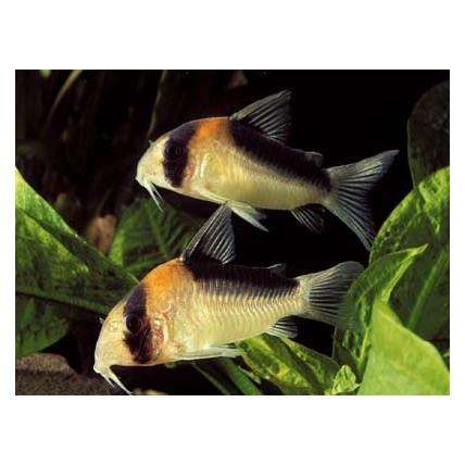 Corydora Adolfoi (Corydoras adolfoi)