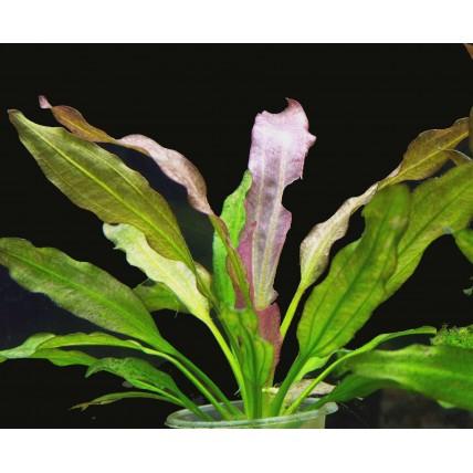 Echinodorus Oriental pq