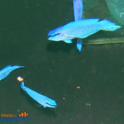 Pseudochromis Fridmani