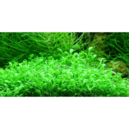 Glossostigma-elatinoides