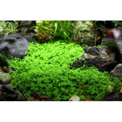 Micranthemum sp. (Monte...