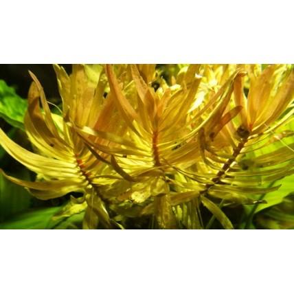 Nesaea pedicelata golden -...