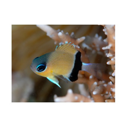 Donzela Black Bar Chromis...