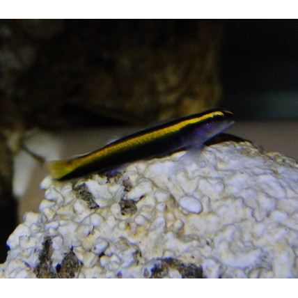 Neon Goby Yellow