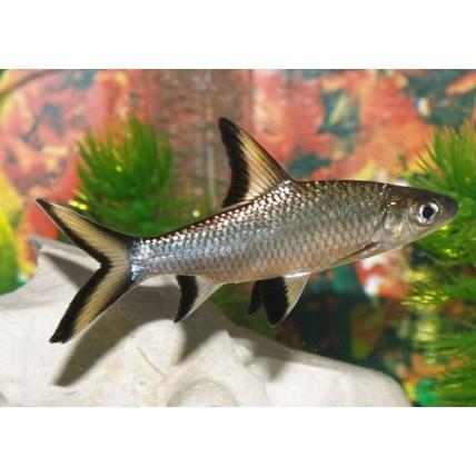 BalaShark 4cm (Balantiochelos melanopterus)