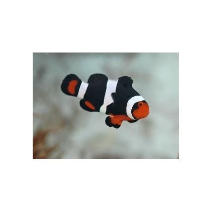 Palhaço Ocellaris Black