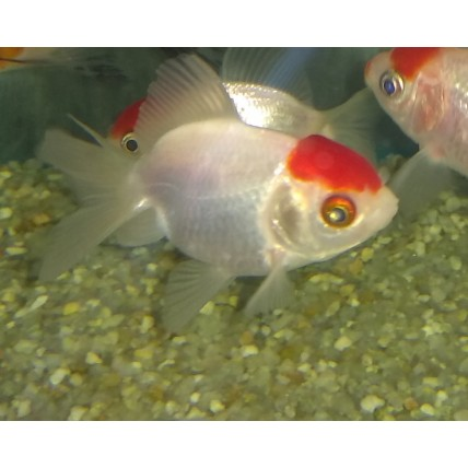 Kinguio Oranda Red Cap Peq
