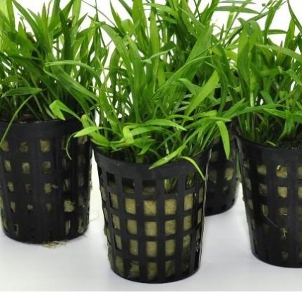 Helanthium (echinodorus)...