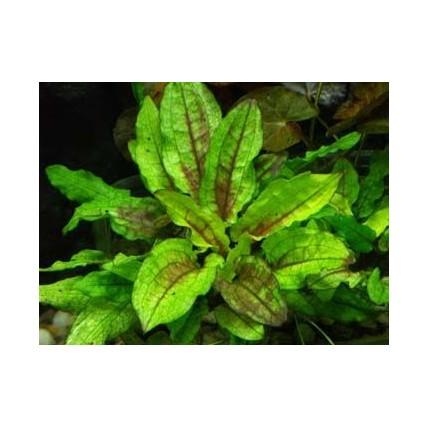 Cryptocoryne wenditti Green...