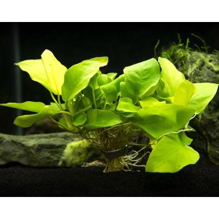 plantas vivas agua doce
