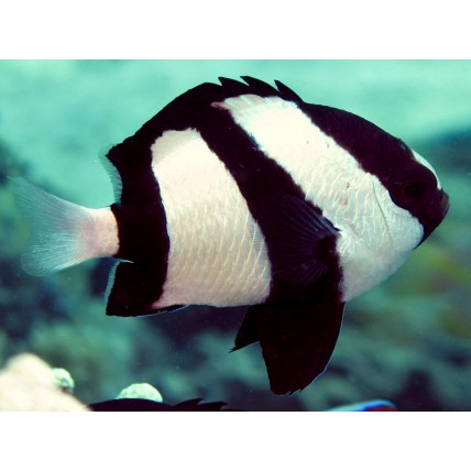 Donzela Three Striped 2-3cm...
