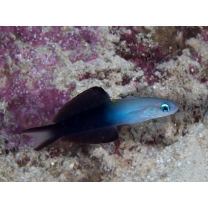 Goby Dartfish Scissor Tail...