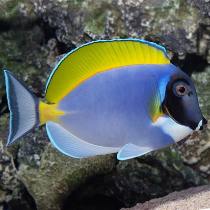 Powder Blue MP (Acanthurus...