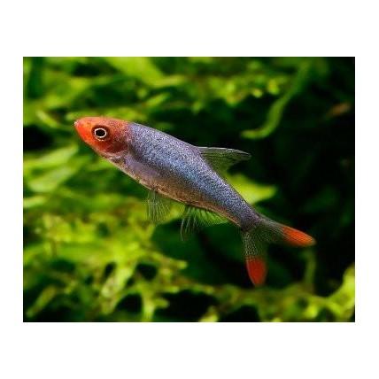 Peixes Ornamentais Mania de Aquário