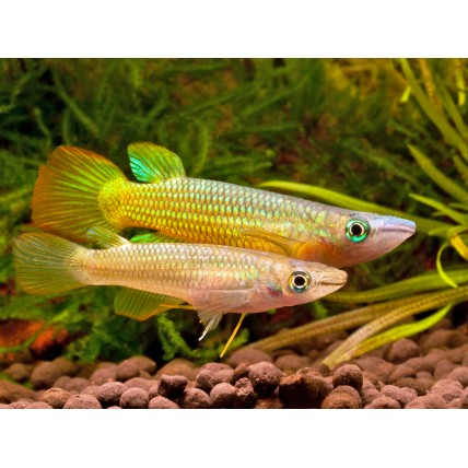 Killifish Golden Panchax...