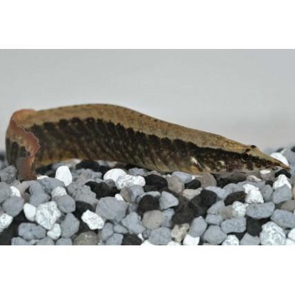 Moreia Tiger 07-09cm