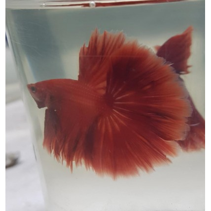 Peixe Betta Macho Vermelho