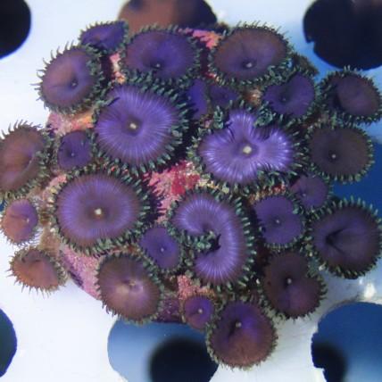 Palitoa Purple Death 3 polipos (Foto ilustrativa)