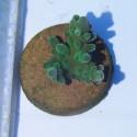 Coral Acropora Green (Mesmo Padrão)