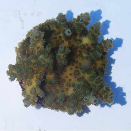 Coral SPS
