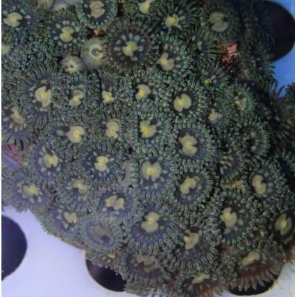 Corais Softs