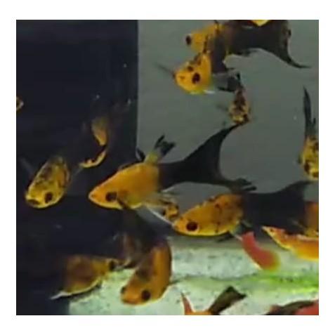 molinesia