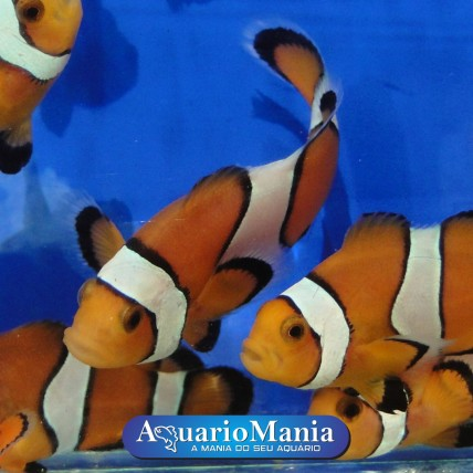 Palhaço Ocellaris – Nemo