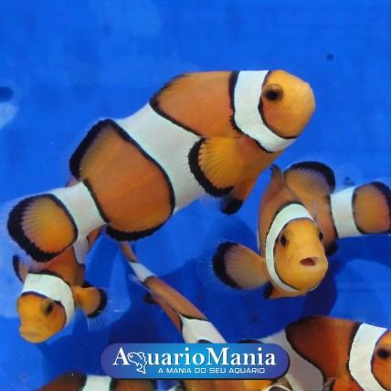 Palhaço Ocellaris – Nemo...