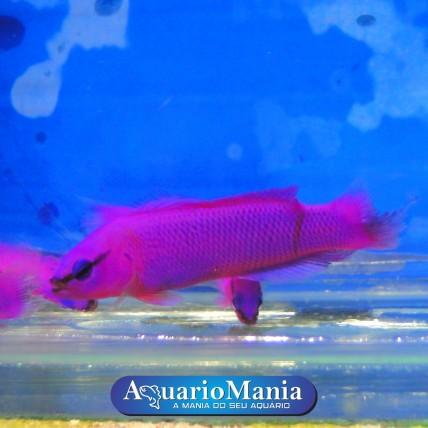 Pseudochromis Fridmani...