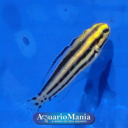 Blenio Striped (Meiacanthus...