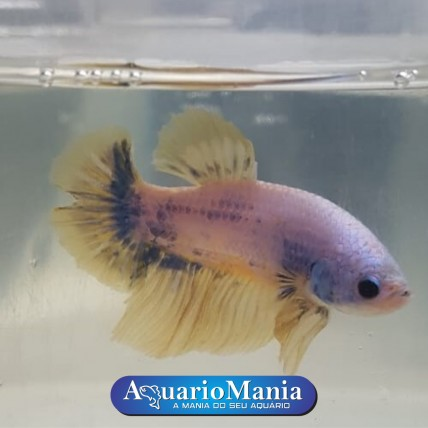 Peixe Betta Macho Plakat