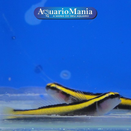 Neon Goby Yellow...
