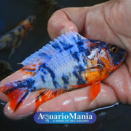 AULONOCARA ORANGE BLUE 5-6 cm