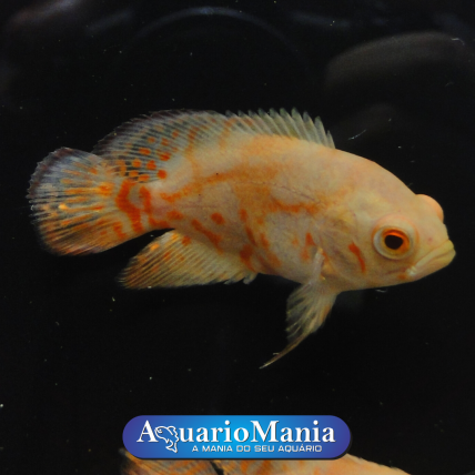 Oscar Red Tiger Albino 3-5...