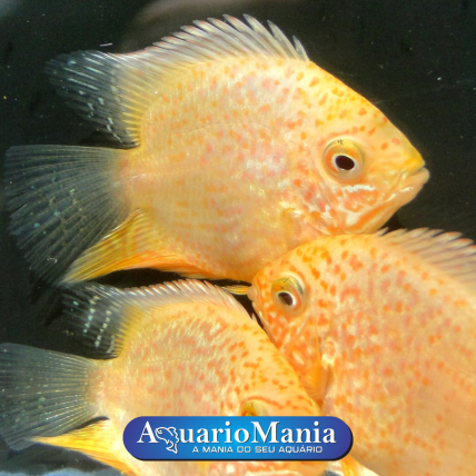 Acará Severum Red Spotted...