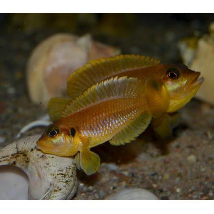 Lamprologus Ocellatus Gold...