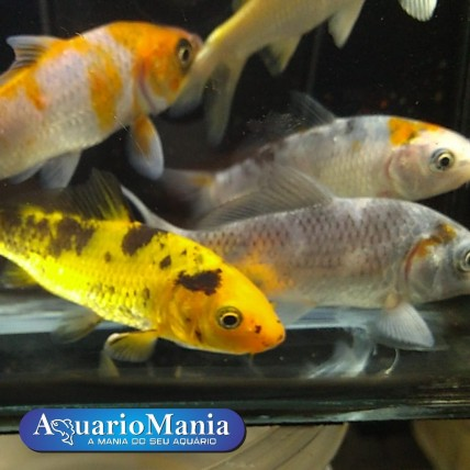 Carpa Colorida 5-8 cm MIX...