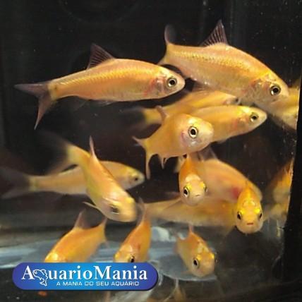 barbo ouro (Puntius sachsii)