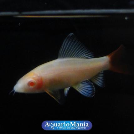Labeo Bicolor Albino 3-4 cm...