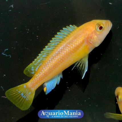 Melanochromis Chipokae Gold...