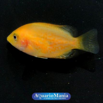 Mexirica Ouro (Etroplus...